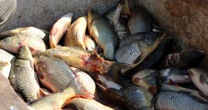 Denizi olmayan ilimizden Avrupa ve Orta Doğuya balık ihracatı