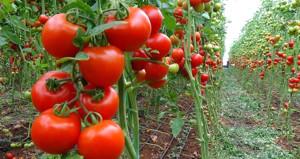Herkes birbirini suçluyor! Tarlada 3,60 olan domates markette 8,90