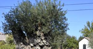 1200 yıllık bu ağaçtan elde edilen meyvenin kilosu 5 bin TL