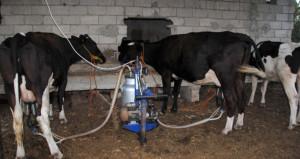 Toplanan inek sütü miktarı arttı, peynir üretimi azaldı