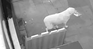 Dükkandan kitap çalıp geri getiren köpek, ödülü kaptı