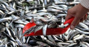Karadenizde hamsi bolluğu yaşanıyor! Fiyatı 5 liranın altına düşebilir