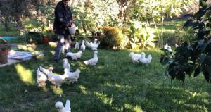 Tavukları sayesinde bütçesi rahatladı! Tanesini 10 bin TLden satıyor