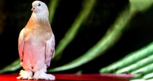 Bu güvercinlerin fiyatını duyan şoka giriyor! Arabadan daha pahalı