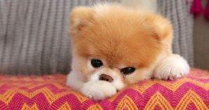 17 milyon takipçisi olan ünlü köpeğin ölümü sosyal medyayı yasa boğdu!