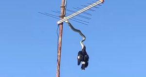 3 metrelik pitonun kuşu yakaladığı o an kamerada