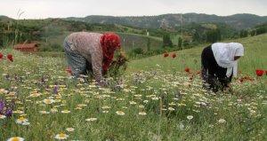 Manisalı Kadınlar Topladıkları Papatyaları Kurutup Kilosunu 35 Liradan Satıyor