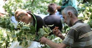 Türkiyenin en büyük ıhlamur ormanlarında hasat başladı