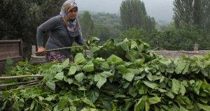 İpek böceği köylülerin gelir kapısı oldu! Yılda 500 bin lira kazanıyorlar