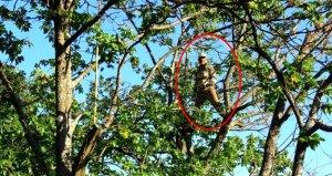 Kestane hasadı için ağaca tırmanan işçilere günlük 350 TL yevmiye veriliyor
