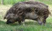 Kalp krizi geçirip ölen şahsın cesedini, beslediği domuzlar yedi