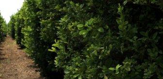 Poyraz nedeniyle narenciye ağaçlarındaki meyveler döküldü, fiyatlar bu yıl cep yakacak