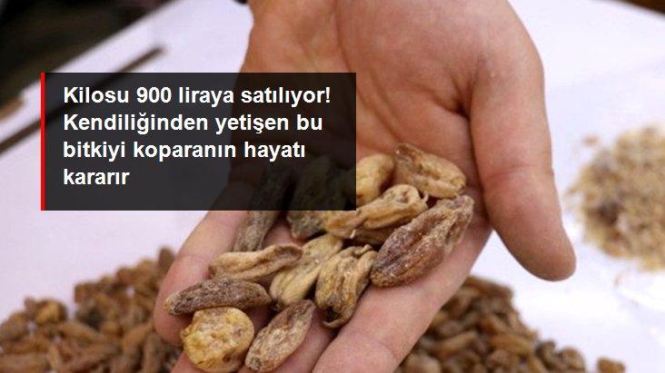 Doğada kendiliğinden yetişmesine rağmen toplaması yasak olan salebin kilosu 900 liraya satılıyor