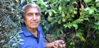 Hobi olarak yetiştirmeye başladığı meyvenin kilosunu 100 liradan satıyor