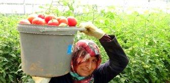Üreticiler bu yıl umduklarını bulamadı! Domates çiftçiyi üzüyor