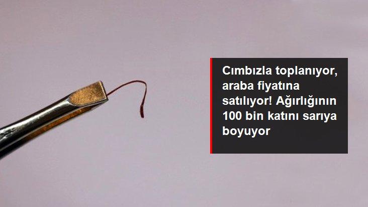 Cımbızla toplanan safran bitkisinin kilosu 30 bin lira