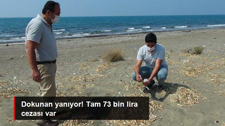 Kum zambaklarını koparanlara 73 bin TL ceza kesiliyor