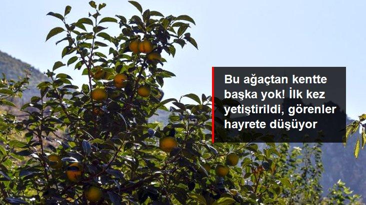 Bu meyve ağacından Gümüşhane'de başka yok! Trabzon Hurması kentte ilk kez yetiştirildi