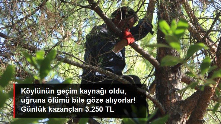 Ölümü göze alan köylüler çam fıstığı hasadına başladı! Günlük kazançları 3.250 lirayı buluyor