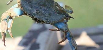 Soyu tükenme tehlikesiyle karşı karşıya kalan mavi yengeçleri avlamanın cezası 5 bin TL