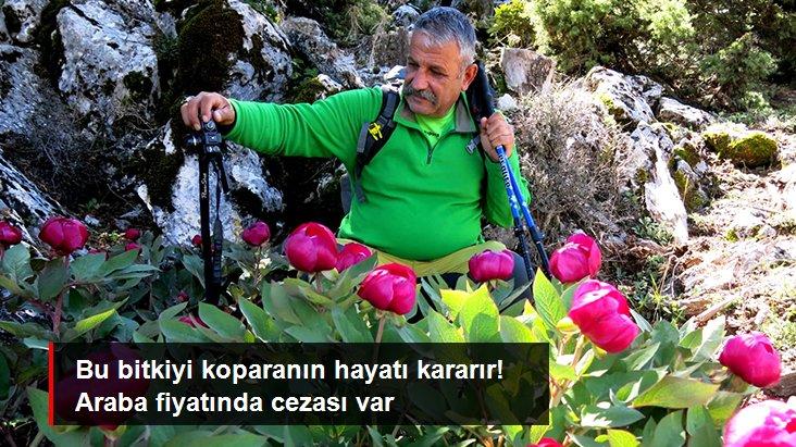 Ender görülen bitki türlerinden olan şakayıkları koparmanın cezası 80 bin lira