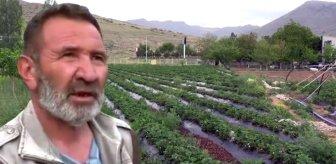 Müteahhitliği bırakıp memleketinde çilek üretimine başladı, yıllık 60 bin lira kazanıyor