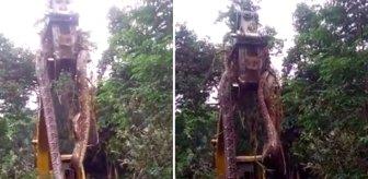 Dünyanın en büyüğü! Ormanda çalıların arasından çıktı, gören adamın dili tutuldu