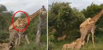 6 aç aslan aynı anda zürafaya saldırdı! Sonrasını kimse tahmin edemedi